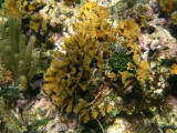 Scaled Lettuce Coral - Agaricia agaricites
