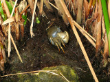 Crab in the vegetation in the fish pond