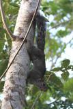 Mexican Gray Squirrel - Sciurus aureogaster