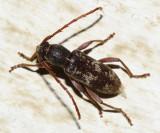 Anelaphus albopilus
