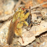 Golden Dung Fly - Scathophaga stercoraria (eating another fly)