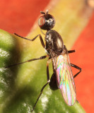 Black Scavenger Flies - Sepsidae