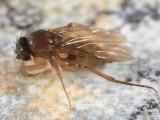 Megaselia sp.
