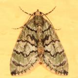 7239 -- Sharp Green Hydriomena -- Hydriomena pluviata