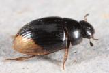 Cercyon praetextatus