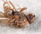 Drosophila colorata