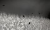 Blackbirds In The Corn 0030.jpg