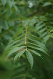 Walnut Leaf No Tilt 2713.jpg
