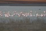 Greater Flamingos - Phoenicopterus roseus