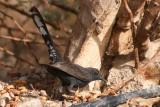 Black Bush Robin - Cercotrichas podobe