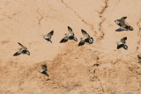 Black-bellied Sandgrouse - Pterocles orientalis