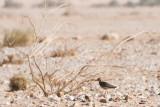 White-tailed Lapwing - Vanellus leucurus
