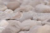 Small Pratincole - Glareola lactea