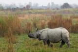 Greater One-horned Rhinoceros - Rhinoceros unicornis