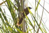 Jerdon's Babbler - Chrysomma altirostre