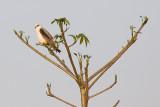 Black-winged Kite - Elanus caeruleus