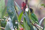 Golden-fronted Leafbird - Chloropsis aurifrons