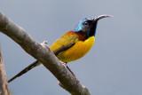 Green-tailed Sunbird - Aethopyga nipalensis