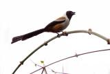 Collared Treepie - Dendrocitta frontalis