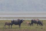 Asiatic Wild Buffalo - Bubalus arnee