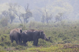 wild Asian Elephant - Elephas maximus