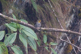 Yellow-rumped Honeyguide - Indicator xanthonotus