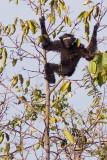 Western Hoolock Gibbon - Hoolock hoolock