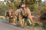 domesticated elephants