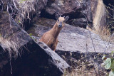 Red Goral - Naemorhedus baileyi