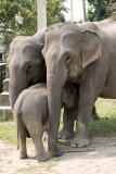 domestic  Asian Elephant - Elephas maximus