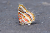dead butterfly