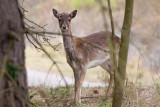 Fallow Deer - Dama dama