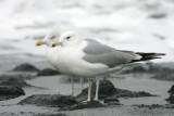 Pontische Meeuw - Caspian Gull