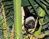 Ptropus Tonganus, Mana Island, Fiji