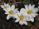 2008-03-22 Bloodroot and Oconee Bells