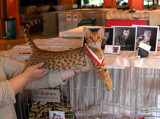 Play posing..she was also the best chocolatespotted ocicat and was Best In Variety!