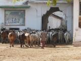 04-Cows after grazing in nAthdwara gOshala.JPG