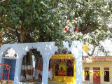 Vyasa gaddi the birthplace of all 18 puranams and Ithihasams from Vyasar, at Naimisaranyam. The tree is also said to be several
