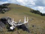 Huge elk skull on Specimen Ridge, Yellowstone NP