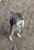 Ground squirel, Chaco Canyon, New Mexico