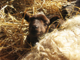 Sheebaas lamb 1 day old