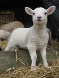 Lambing 2010