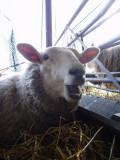 Lambing 2008