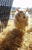 smily sheep
