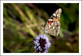 Painted Lady Refueling