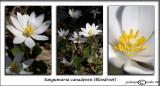 Sanguinaria canadensis(Bloodroot)March 25