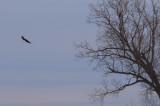 Eagle Near Sandville
