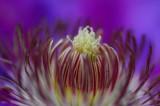 Clematis Bloom Closeup