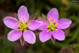 Spergularia australis
