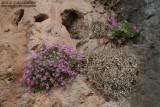 Petrocoptis grandiflora